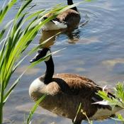 June 19 2021 26C Nice day! Geese - Keep social distancing :) Rumble Pond Park