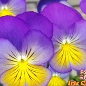 June 18 2021 26C Beautiful Pansies like butterflies dancing!Thornhill