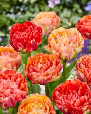 Gigantic Tulips Richmond, BC