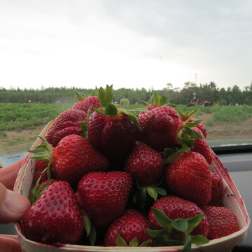 First Strawberry U-Pick June 19-6-2021.