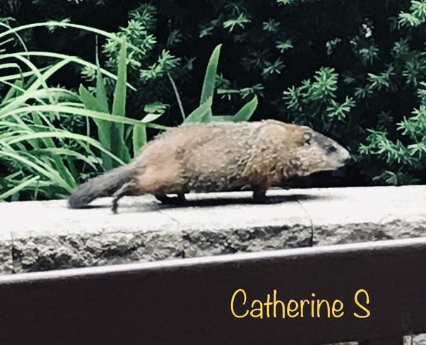Meet our condo neighbours The Groundhogs Toronto, ON