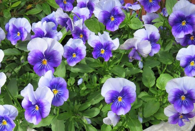 purple flowers Vancouver, BC