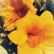 June 20 2021 26C Pretty yellow Dayliles embrace the sun! Thornhill