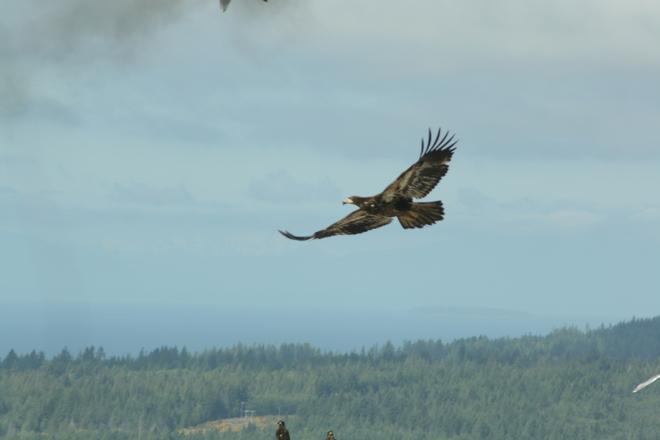 Bald Eagles Sechelt, BC