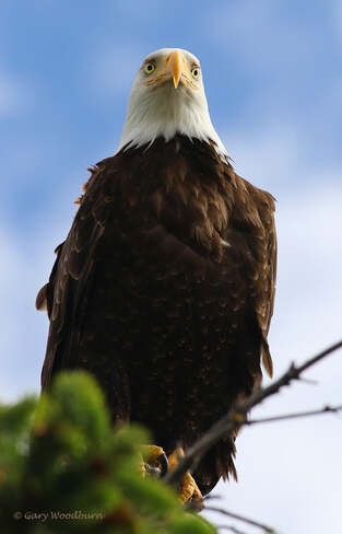 2021-06-20 - Bald Eagle in a stare down, at Esquimalt Lagoon Esquimalt Lagoon, Colwood, BC