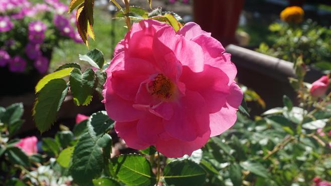 Rose in full bloom. Regina, SK