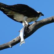 Osprey enjoying lunch and dinner