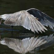 2021-06-22 - Seagull, taking off for the shoreline, in Esquimalt Lagoon