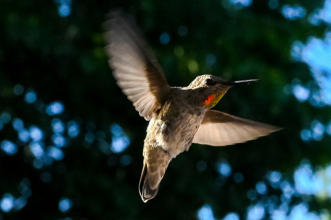 Hummingbird Abbotsford, BC