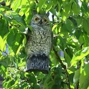 The plastic owl saves me more cherries