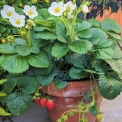 good looking strawberries pot