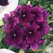 Homestead Purple Verbena