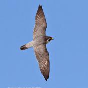 Peregrine falcon over skies of Ottawa