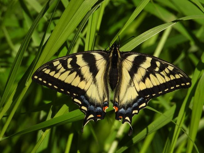 Un beau papillon Monarque Matane, QC