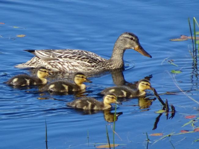 Duck Family Sudbury, ON