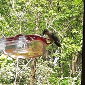 Lunch time,female hummingbird