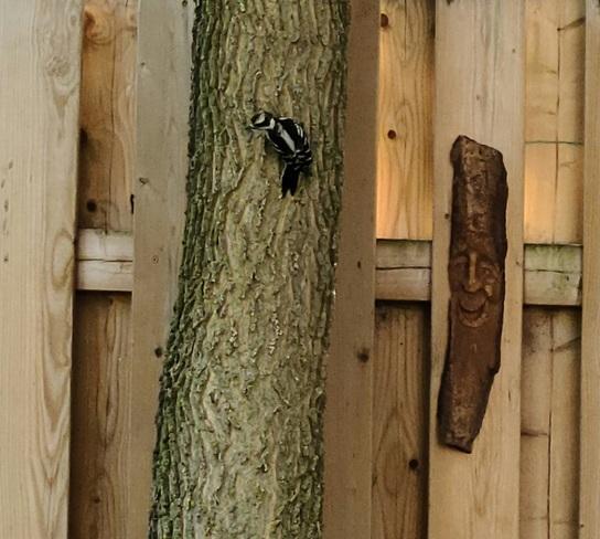 Downy Woodpecker Paris, ON