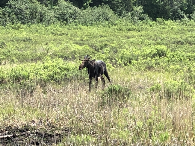 Bruce the Moose Whitney, Ontario, CA