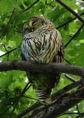2021-06-22 - Barred Owl, sleeping, at Royal Roads University Royal Roads University, Sooke Road, Victoria, BC