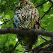 2021-06-22 - Barred Owl, sleeping, at Royal Roads University