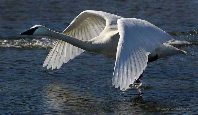 2021-06-24 - Beautiful wings of a Trumpeter Swan at Esquimalt Lagoon Esquimalt Lagoon, Colwood, BC