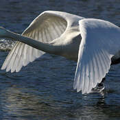 2021-06-24 - Beautiful wings of a Trumpeter Swan at Esquimalt Lagoon