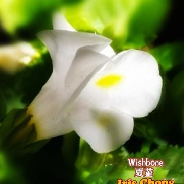 June 24 2021 25C Peaceful summer - White Wishbone in Thornhill