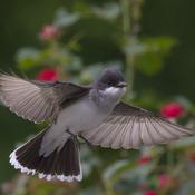 Kingbird