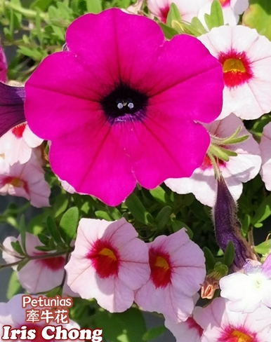 July 15 2021 Happy Summer!:) Delightful Petunias in Markham Markham, ON