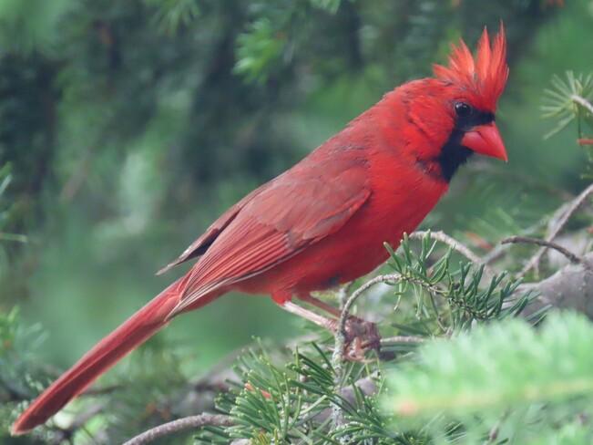 Cardinal Lac Magog, Québec