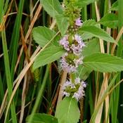 Wild Mint Flowering