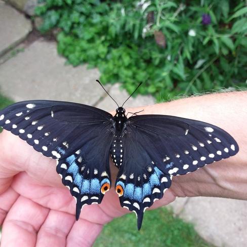 Black Swallowtail Jarvis, ON