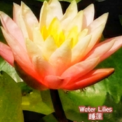 July 22 2021 24C Water Lily - Humber Arboretum Etobicoke Toronto