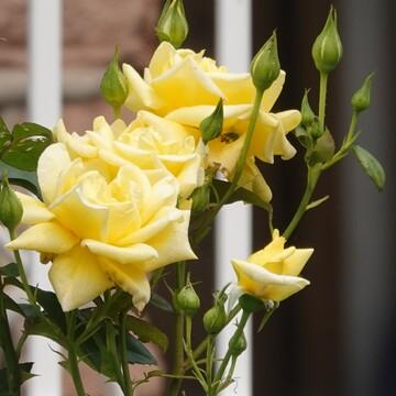 My neighbor's Tea Rose