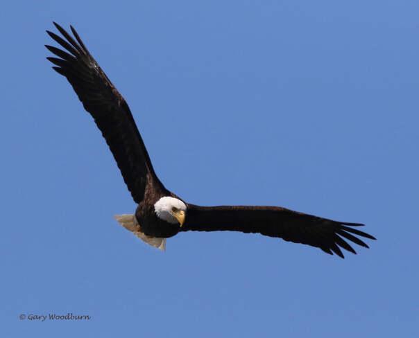 2021-07-21 - Bald Eagle, on the search for food, over Esquimalt Lagoon Esquimalt Lagoon, Colwood, BC