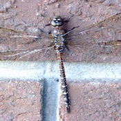 Grand Daddy Dragonfly