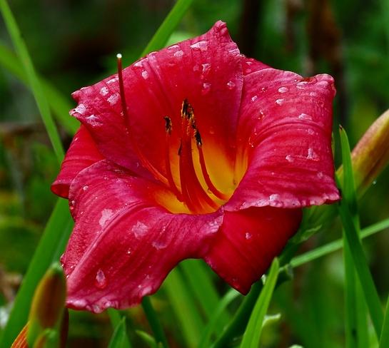 Red Lilly Gelert, ON
