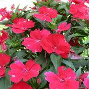 Beautiful red flowers in Ottawa, Vanier