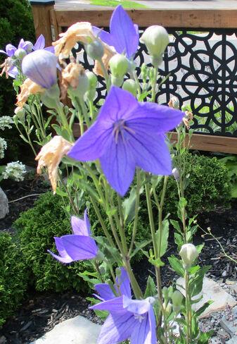 Beautiful flowers in Ottawa, Vanier Ottawa, ON