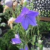 Beautiful flowers in Ottawa, Vanier