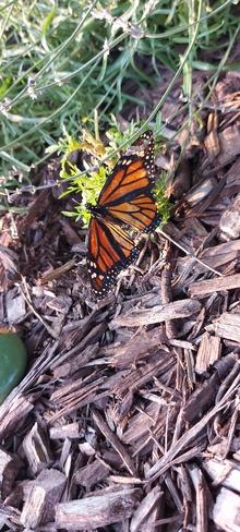 Monarch LaSalle, ON