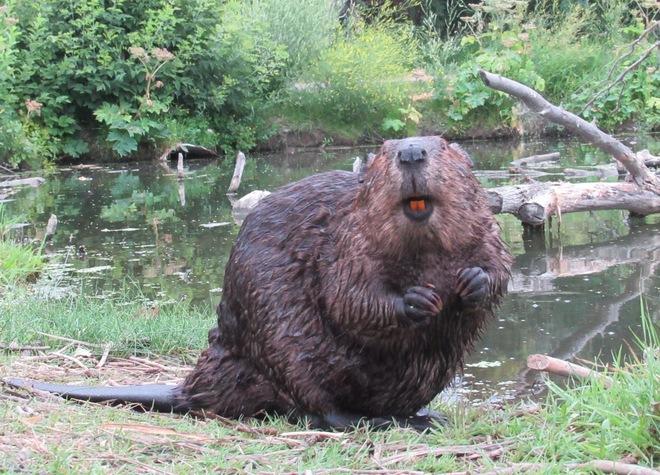 Beaver smiles Saskatoon, SK