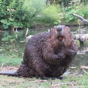 Beaver smiles