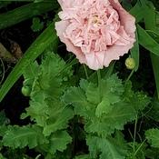 beautiful poppy 😍