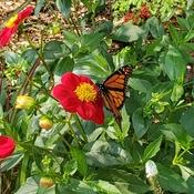 Monarch on a dahlia