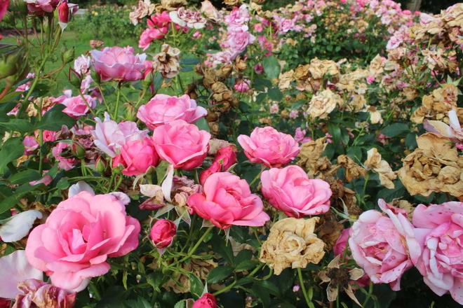 Heatwave effect on plants Stanley Park Rose Garden, Pipeline Road, Vancouver, BC