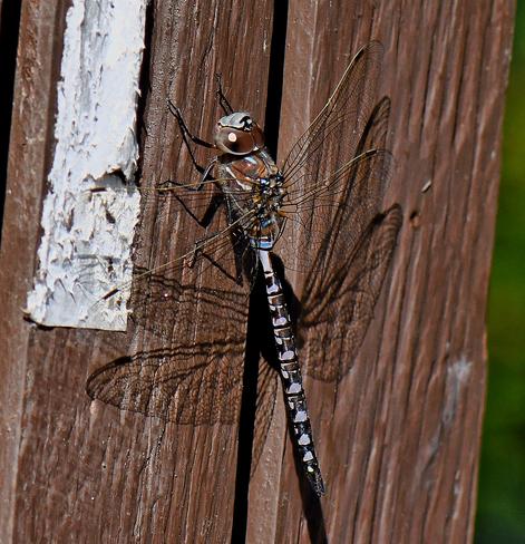 Dragonfly Edmonton, AB