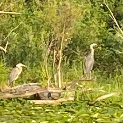 Great Blue Herons Toronto Islands, Ontario, CA
