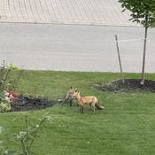 Adorable Foxes in Brampton (Bramalea Area)
