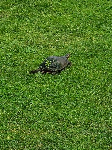 turtle crossing Hammond, ON